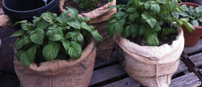 potatoes growing in bags