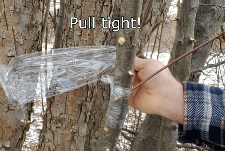 wrapping apple tree cutting in graft